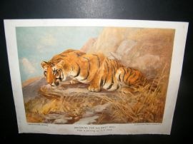 Boys Own 1909 Antique Print. Tiger. Watching for his next meal